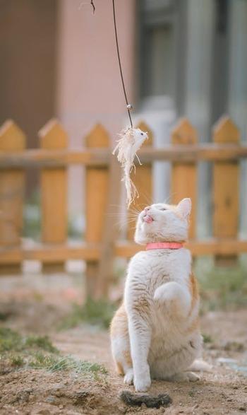 猫じゃらしは英語で「cat toy」「cat feather toy」などと言われています。棒の先に毛や羽根が付いた形も、基本的には共通。日本だけでなく、世界中の猫たちに愛されているおもちゃなんです。