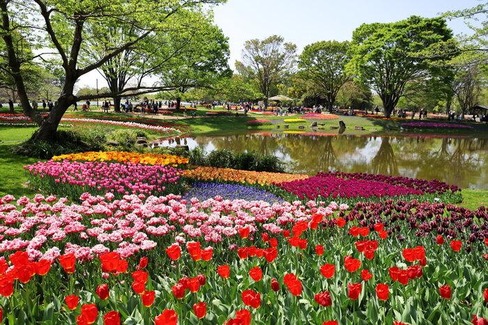 昭和記念公園は、昭和天皇御在位50年記念の一環として1983年に開園された国営公園です。広大な敷地を誇る公園内の渓流広場には、242品種約22万本のチューリップが栽培されており、春の東京都に彩を与えています。