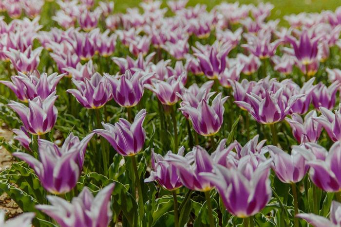様々な品種のチューリップが栽培されている昭和記念公園では、ユリの花のような花びらをした珍しい品種のチューリップを見かけることもできます。可憐に花を咲かせるチューリップをじっくりと観察してみるのも楽しいですよ。