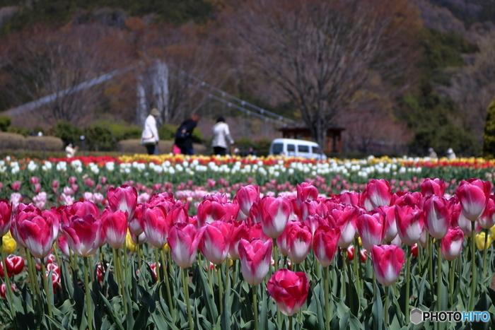 神奈川県が運営・管理する秦野戸川公園は、丹沢山々から流れ出る水無川の自然を生かして造られた都市公園です。ここでは24品種、7万本のチューリップが栽培されており、春の神奈川県の彩りに華を添えています。
