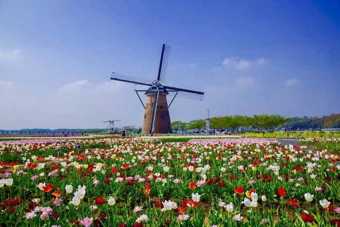 千葉県佐倉市の印旛沼のほとりにある佐倉ふるさと広場は、日本とオランダの親善シンボルとして本格オランダ風車「リーフデ」が建てられている市民の憩いの場です。