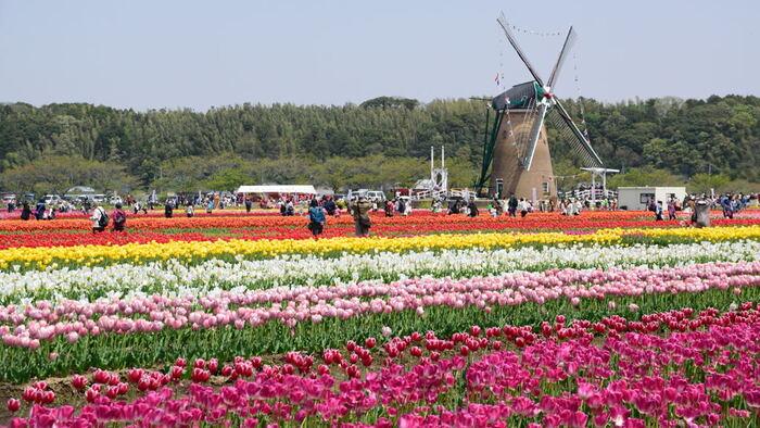 佐倉ふるさと広場では、毎年春になると約100種類72万本のチューリップが開花し、春の佐倉市に彩りを与えています。遠望して佐倉ふるさと広場を眺めてみましょう。本格的なオランダ風車を背景に、色とりどりのチューリップが整然と花を咲かせている様は、まさに絶景そのものです。