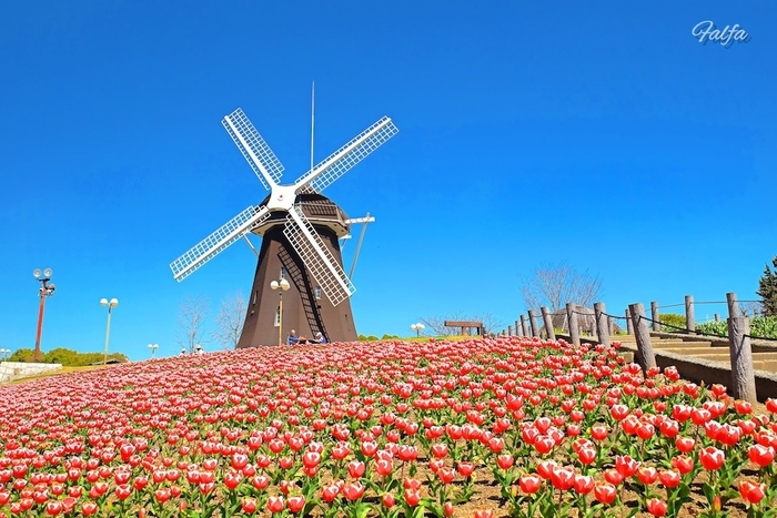 花万博記念公園鶴見緑地は、1990年に開催された「花の万博」のメイン会場となった都市公園です。ここでは、四季折々で美しい花々を咲かせる植物が多数栽培されており、年間を通じて花の鑑賞を楽しむことができます。毎年4月になると花万博記念公園鶴見緑地にある風車前の花壇は一面のチューリップ畑へと変貌します。