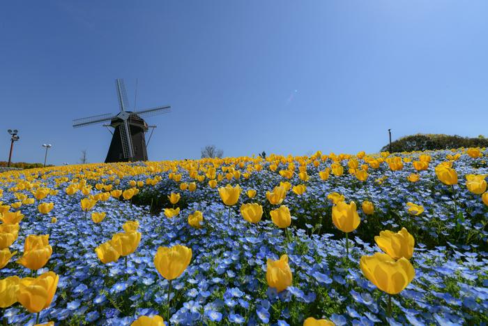 花万博記念公園鶴見緑地のチューリップ花壇では、チューリップ単独植えだけでなく、ネモフィラとの寄せ植えもされています。小さな青い花を咲かせるネモフィラと黄色の花を咲かせるチューリップが見事に融和した景色は童話の挿絵のような美しさです。