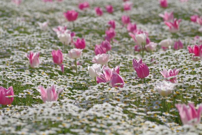 長居植物園では様々な品種のチューリップが栽培されています。とりわけ、ユリのような花びらをした淡いピンク色のチューリップと白いノースポールの寄せ植えがされている花壇の美しさは傑出しています。