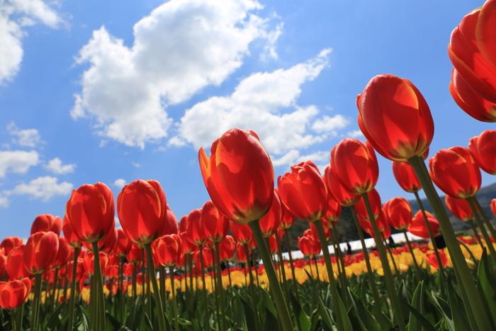 たんとうチューリップまつりは、1992年から但東シルクロード観光協会が主催して毎年4月に開催されているチューリップのイベントです。