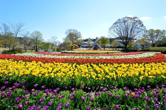 兵庫県立フラワーセンターは、広大な敷地の中に中央花壇、四季の花壇、風車前花壇、林床花壇、芝生広場など様々な見どころがある植物園です。四季を通じて様々な美しい花々鑑賞ができる兵庫県立フラワーセンターでは、毎年4月頃になるとチューリップが見ごろを迎え、風車前花壇を彩っています。