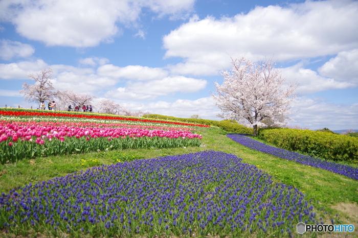 馬見丘陵公園は、奈良県が運営・管理する北葛城郡のなだらかな丘陵地帯に整備された都市公園です。四季折々の花々を楽しむことができる馬見丘陵公園では、2014年から毎春「馬見チューリップフェア」開催されます。