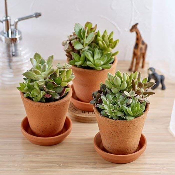 多肉植物「寄せ植え3個セット」日比谷花壇