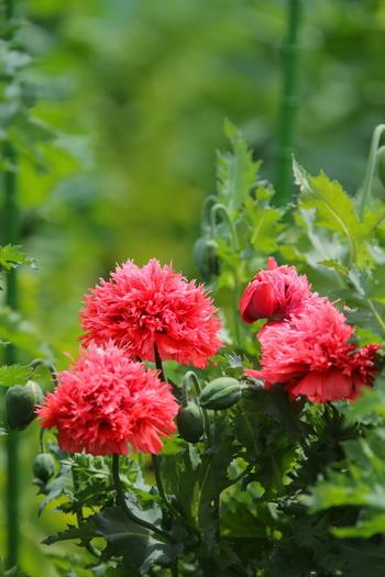 薬用植物園は、都内で唯一、ケシが栽培されている施設としても有名なんです。花が咲く5月頃には、厳重な警備の下、見学も可能になるので、ぜひ足を運んでみてください。