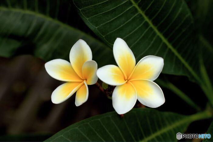 熱帯環境植物館の代表的なお花が、プルメリア。6~10月頃が開花の目安となっているので、残念ながら冬に見ることはできませんが…。季節になったらぜひ見に行きたいお花のひとつです。