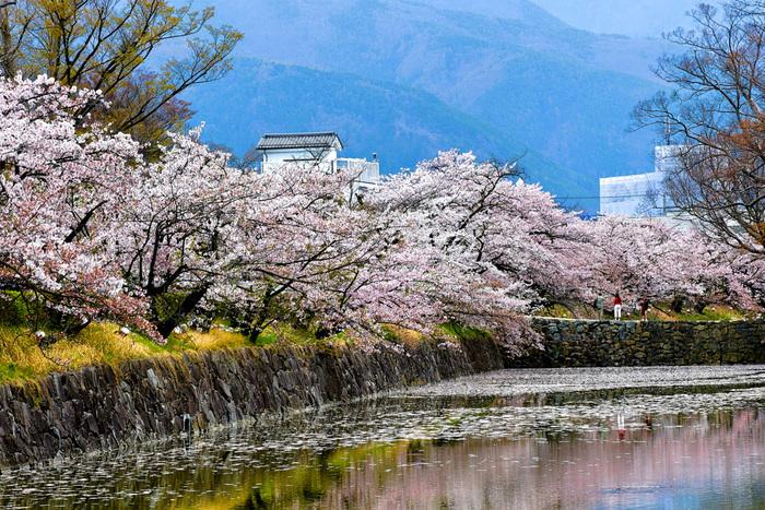 春に楽しみたいのはやっぱり桜です。お城と桜の組み合わせは日本らしい鉄板の組み合わせ。お濠に浮かぶ桜の花びらも、城下町らしい楽しみ方の一つです。