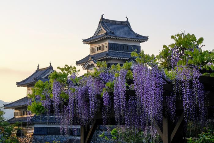 桜の頃を過ぎたら、藤が見頃です。松本城には見事な藤棚があり、休憩しながら天守閣と藤の花の華やかさを楽しむことができます。