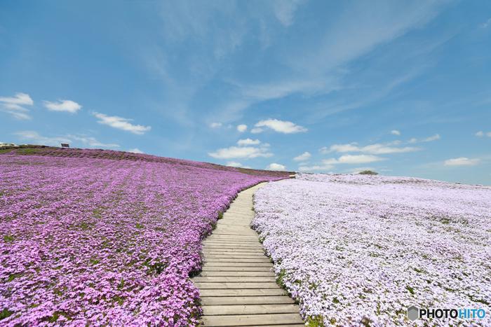芝桜の丘には、整備されてた木の遊歩道が敷かれています。抜けるような春の青空の下で、大地に絨毯を敷き詰めたような芝桜の丘を散策する気持ち良さは格別です。