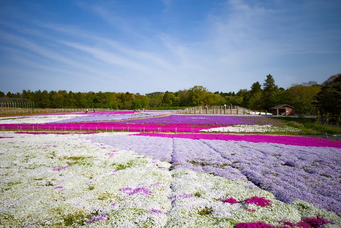 広大な敷地一面を芝桜が覆いつくす様は壮観です。紫、濃淡ピンク、白などの芝桜が競うように咲き誇る様は、まるで大地にカラフルなパッチワークを敷き詰めたかのようです。