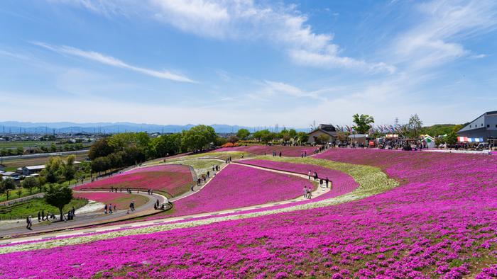 なだらかな丘陵地帯に造られた八王子山公園は、約18ヘクタールの敷地を誇り、市民の憩いの場となっている場所です。公園東側に位置する「見晴らしの丘」には丘一面に芝桜が植栽されており、毎年4月中旬から5月中旬にかけて見ごろを迎えます。