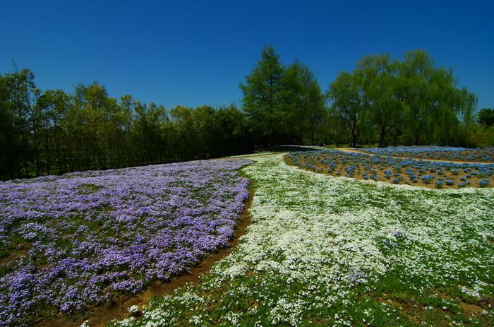 東武とレジャーガーデンでは、濃淡ピンク、白といったよく見かける芝桜のほかに、青色や薄紫色をした珍しい色の芝桜も植栽されています。