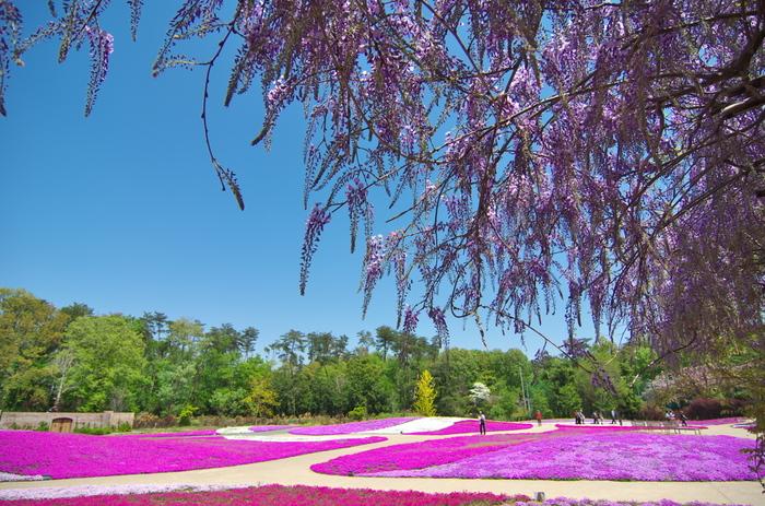 ピンク色のグラデーションに染まった絶景を見に行こう…関東地方の芝桜の名所8選