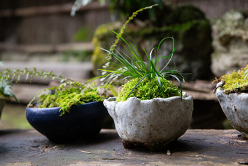 かんたんで可愛いからと迎え入れた「苔玉」。それからどう育てていますか?