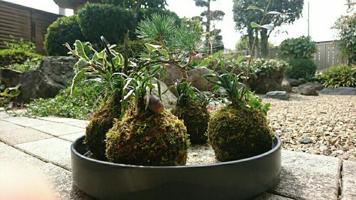 屋外に苔玉を出しっぱなしにしていると、虫がついてしまうことがあります。また、有機肥料を与えたり根腐れしていると、コバエが発生を引き起こす可能性も。
