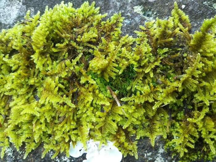 苔玉に使う苔は「這苔(ハイゴケ)」がおすすめ。丈夫でお手入れもしやすいので、きっちりとした環境整備ができない方や、苔玉初心者の方でも安心して育てられます。もちろん、ほかにも苔の種類はたくさんありますので、お好みの風合いの苔を見つけて育てましょう。