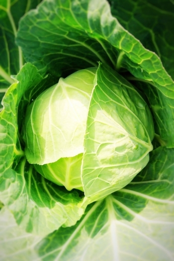 2月は寒さの中で甘みを蓄えた冬キャベツの旬ですが、水分が多く柔らかい春キャベツも出回り始めます。ちなみに冬キャベツと春キャベツは別の品種で、春だから葉が柔らかいわけではないのだそう。胃の粘膜を再生・強化するビタミンU(キャベジン)は、その名の通りキャベツから発見された栄養素です。その他ビタミンC、血液の凝固促進や骨の形成に役立つビタミンKなどを多く含んでいます。