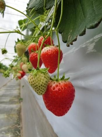 埼玉県秩父市で化学肥料そ使わず、有機培土や有機肥料で作られた安全ないちごを育てている農園です。栽培品種は非常に多く、オンライン販売も行われています。