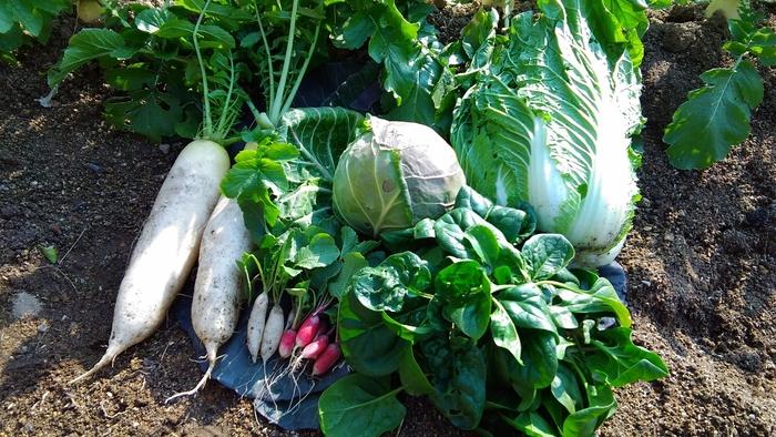 夏の野菜には身体を冷やす効果を持つものが多いように、冬の野菜には身体を温める効果を持つものがたくさんあります。最近ではハウス栽培などで一年を通じて出回る野菜も多いですが、旬の野菜はやっぱり美味しく、栄養も豊富。流通量も増えるので、価格が安くて手に入りやすいのも嬉しいですよね。
