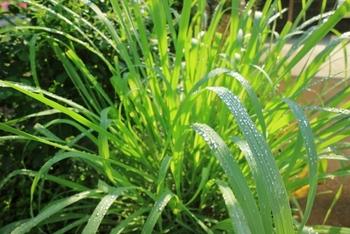 レモングラスは、鉢植えでも育てることができます。ハーブの土に植え、土の表面が乾いたらたっぷり水をあげます。夏の成長期にはハーブ用の肥料を与えるといいようです。