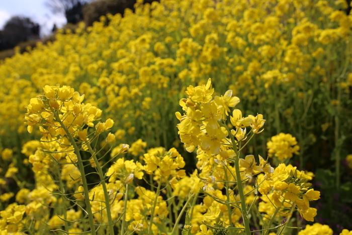 マザー牧場はたくさんの動物との触れ合いはもちろん、圧巻の花畑も魅力の1つです。いちご狩りの時期には一面黄色に色づく菜の花畑が楽しめます。