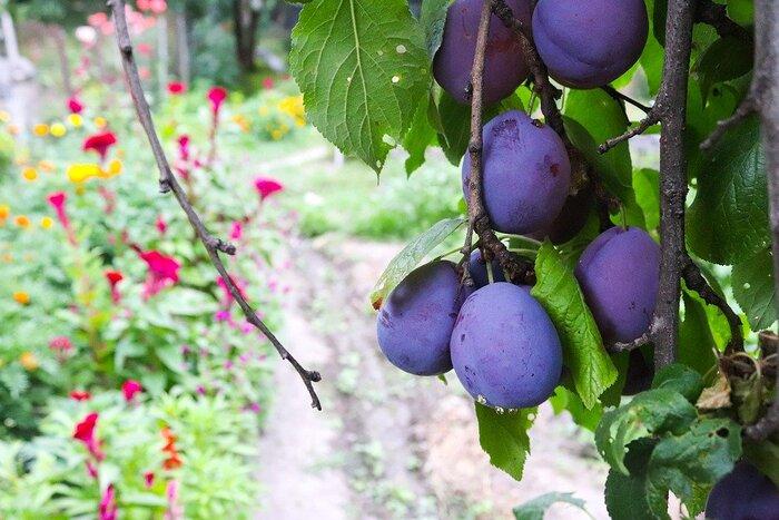 ドライフルーツで人気のプルーンは、鉄分豊富なフルーツとして有名です。他にも、食物繊維が豊富なので便秘解消に役立ったり、葉酸やビタミンB群、ビタミンCなども含まれていてバランスの良いフルーツです。カリウムやマグネシウムなどのミネラルも含まれています。