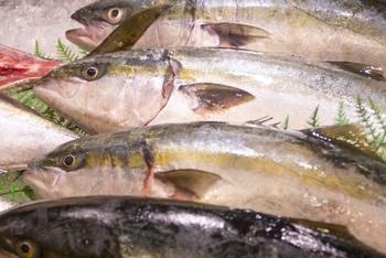 はまちは、大きさによって名前が変わる出世魚「ブリ」の幼魚。ブリは、成長過程や地方によって名前が変わるスズキ目アジ科の回遊魚。関東ではモジャコ(稚魚)→ワカシ→イナダ→ワラサ→ブリと変化していきます。そして、全国的には、大きさが80㎝を超えたときに「ブリ」と呼ばれるようになります。
