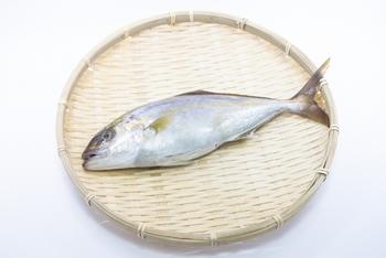 カンパチ・ヒラマサもブリとよく似た出世魚ですが、別の魚です。カンパチとヒラマサはブリより大きく、この3つを合わせて「ブリ御三家」ともいうそうです。