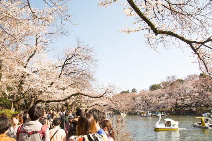 井の頭恩賜公園は、「日本桜さくら名所100選」の一つに数えられており、東京都内でも有数の桜の名所として親しまれています。公園内では、井の頭池の周囲を中心に約500本の桜が咲き誇り、ボートに乗りながらお花見を楽しむことができます。
