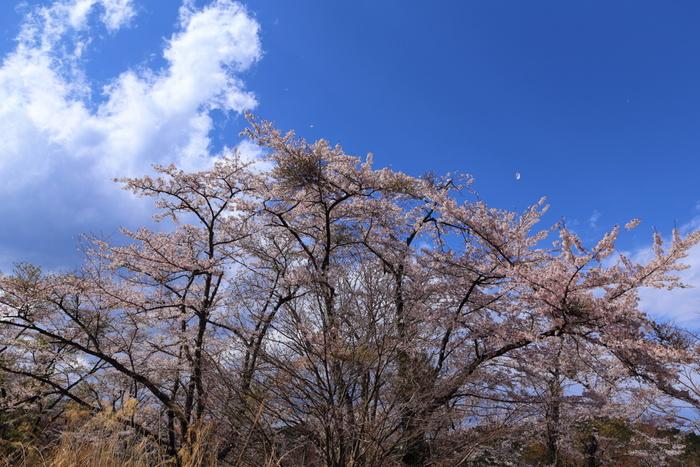 古くから修験道の霊山として山岳信仰を集めてきた高尾山は、年間を通じて大勢の登山客や観光客が訪れる標高599メートルの山です。高尾山薬王院の周辺には桜が植樹されており、高尾山ではハイキングとお花見を両方楽しむことができます。