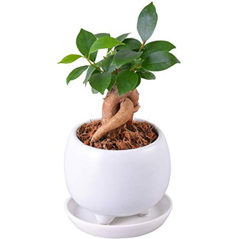 ガジュマル 多幸の木 (05. ホワイト 鉢皿付)
