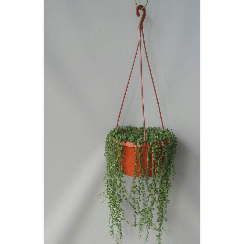 グリーンネックレス(緑の鈴)6号吊り鉢