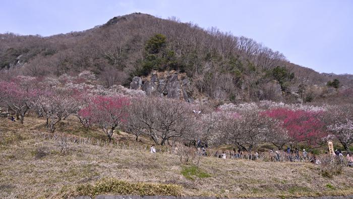 湯河原駅からバスで15分ほどのところにある「幕山公園」。園内には一年を通してさまざまな花が咲いていますが、なかでも梅の花の美しさは圧巻。白梅と紅梅合わせて約4,000本あり、満開になると辺り一面が梅の絨毯を敷いたような淡いピンク色に包まれます。