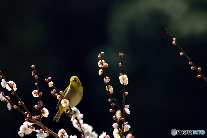 毎年2月上旬から3月中旬かけて「梅の宴」が開かれ、梅の花の香りが園内いっぱいに広がります。7ヘクタールもある広大な敷地に咲き誇る梅を楽しみにしているのは、鳥たちも同じかも知れませんね。