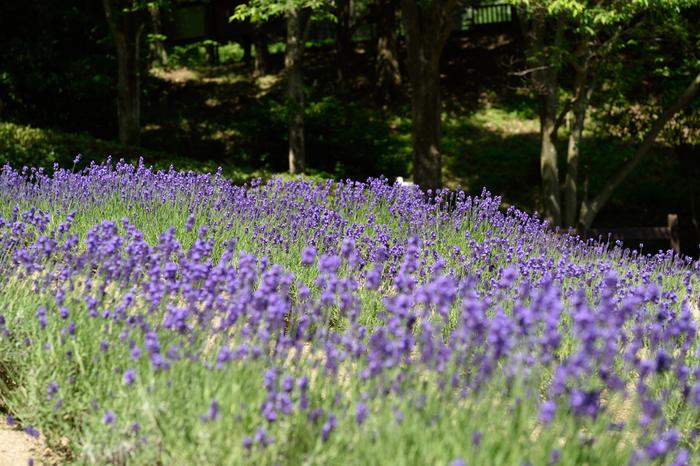 布引ハーブ園では、「ハーブの女王」と称されるラベンダーが栽培されているラベンダー園があります。なだらかな傾斜地となっているラベンダー園を、紫色の可憐な花びらをしたラベンダーが覆いつくす様は壮観です。