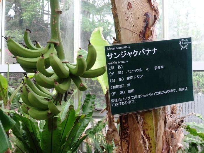 温室となっているグラスハウスでは、スパイス、果実など熱帯性の植物が栽培されています。ここでは、関西地区では滅多に見かけることができないバナナの木などを見かけることができます。