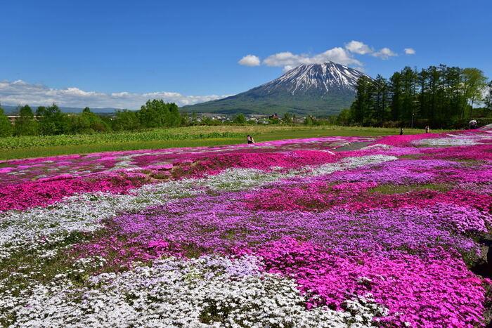 三島さんの芝ざくら庭園からは、芝桜の庭園を眼前に、美しい山容をした羊蹄山を臨むことができます。抜けるような青空、冠雪した羊蹄山、大地いっぱいに咲き誇る芝桜が織りなす景色は絶景そのものです。
