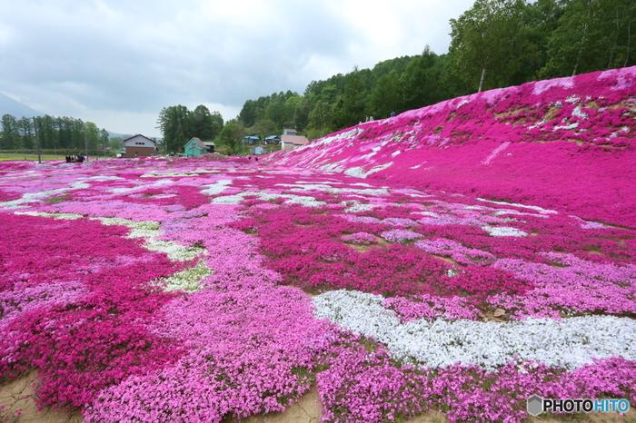 広大な庭園に、濃淡ピンク、白の芝桜が競うように開花している様は壮観そのものです。まるで大地にカラフルなパッチワークを敷き詰めたような風景は、知安町に春の訪れを告げているかのようです。