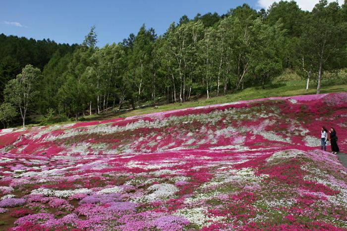 三島さんの芝ざくら庭園は、虻田郡倶知安町にご在住の三島さんの御厚意で一般開放している芝桜の庭園です。ここは個人宅になるので、きちんとマナーを守って芝桜鑑賞を楽しみましょう。