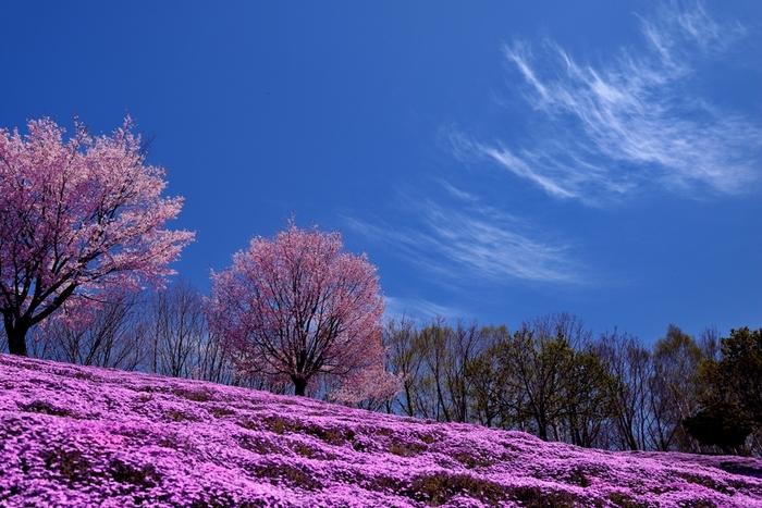 ひがしもこと芝桜公園では、芝桜の開花時期に合わせて「芝桜まつり」が開催されます。爽やかな春空と、大地いっぱいに咲き誇る芝桜のコントラストは美しく、いつまで眺めていても飽きることはありません。
