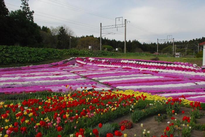 札苅村上芝桜園は、上磯郡木古内町にご在住の村上さんの御厚意で開放されている芝桜の庭園で、木古内町の観光スポットの一つとなっています。こちらは、個人宅なので訪れる際は、マナーを守って芝桜鑑賞を楽しみましょう。