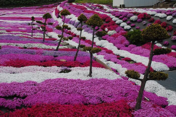 札苅村上芝桜園で栽培されている芝桜の種類はなんと30種類にも及びます。濃淡ピンク、紫、赤、白色をした芝桜が競うように開花する様はまさに圧巻です。