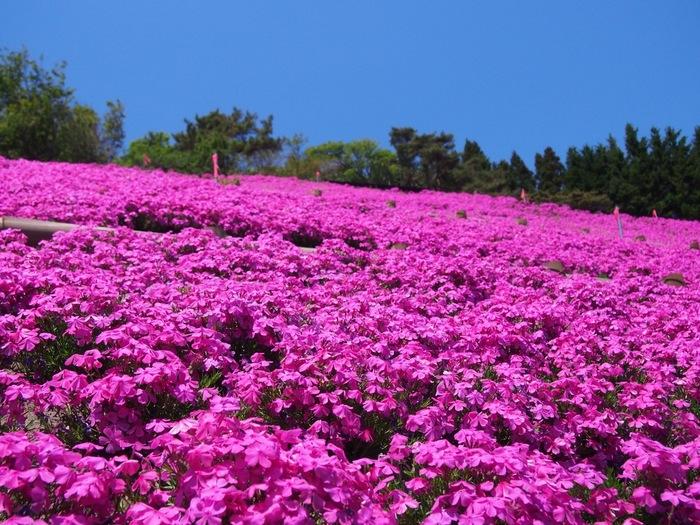 薬師山・ふるさとの森公園では毎年5月頃になると芝桜が見ごろを迎え山肌をピンク色に染め上げます。抜けるような青空の下で、一面に芝桜が開花する様は、楽園を彷彿とさせる趣を醸し出しています。