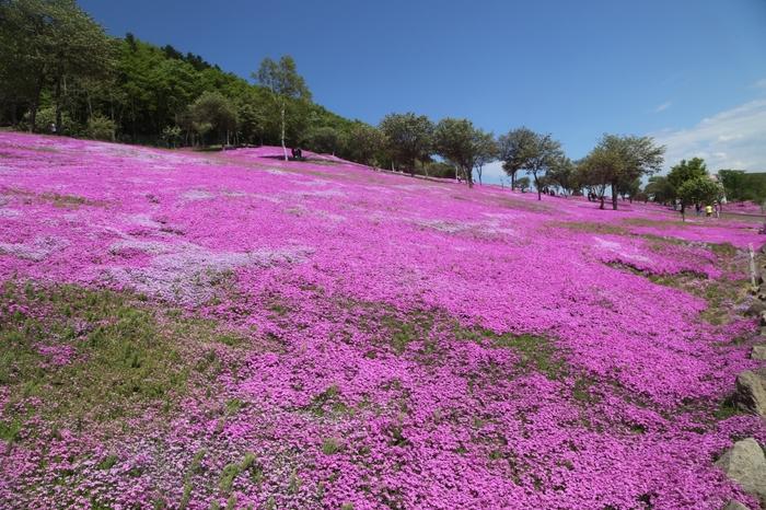 北海道を代表する芝桜の名所として知られている「芝ざくら滝上公園」は、もともとはミカンの箱いっぱいの芝桜の苗を栽培し、徐々に増やしていったことに遡る場所です。