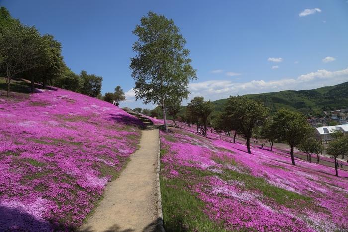 芝ざくら滝上公園では、芝桜が咲き誇る丘陵地帯によく遊歩道が整備されています。大地に濃淡ピンクの絨毯を敷き詰めたような風景を楽しみながら、芝桜が咲き誇る公園内を散策する気持ち良さは格別です。